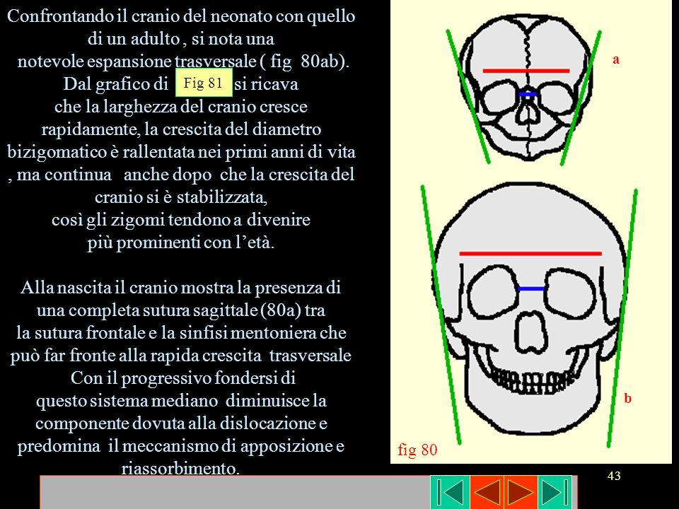 43 Confrontando il cranio del neonato con quello di un adulto, si nota una notevole espansione trasversale ( fig 80ab). Dal grafico di si ricava che l