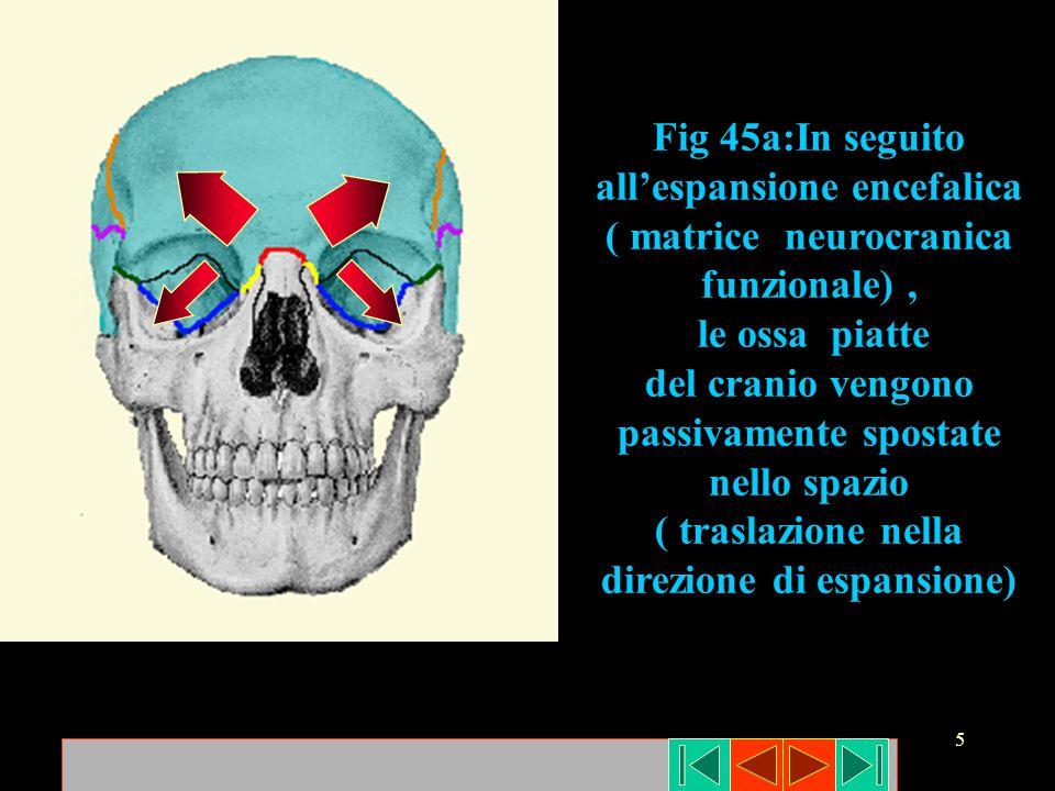 5 Fig 45a:In seguito allespansione encefalica ( matrice neurocranica funzionale), le ossa piatte del cranio vengono passivamente spostate nello spazio