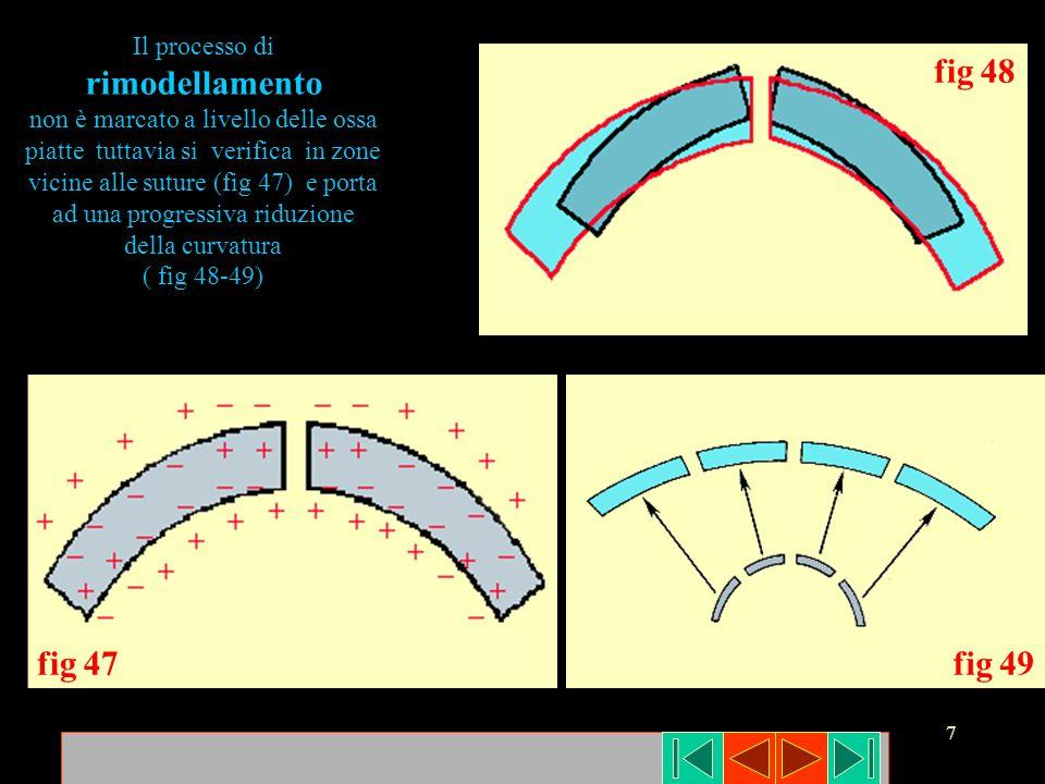 7 fig 47fig 49 fig 48 Il processo di rimodellamento non è marcato a livello delle ossa piatte tuttavia si verifica in zone vicine alle suture (fig 47)