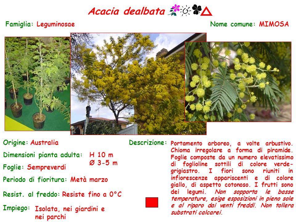 Acacia dealbata Nome comune: MIMOSA Periodo di fioritura: Metà marzo Origine:Australia Dimensioni pianta adulta:H 10 m Ø 3-5 m Foglie: Sempreverdi Res