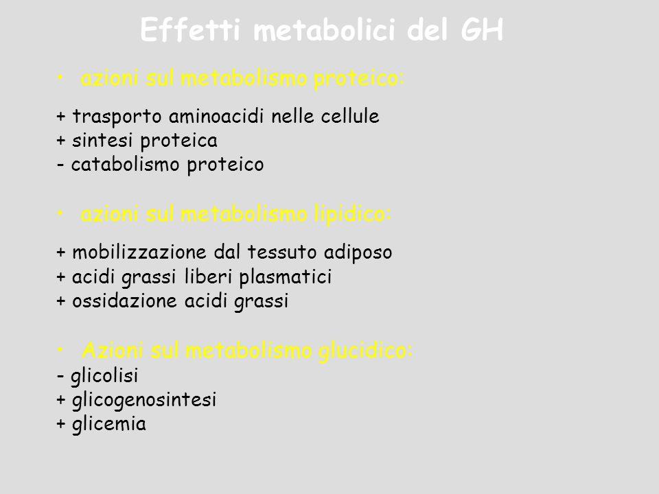 Effetti metabolici del GH azioni sul metabolismo proteico: + trasporto aminoacidi nelle cellule + sintesi proteica - catabolismo proteico azioni sul m