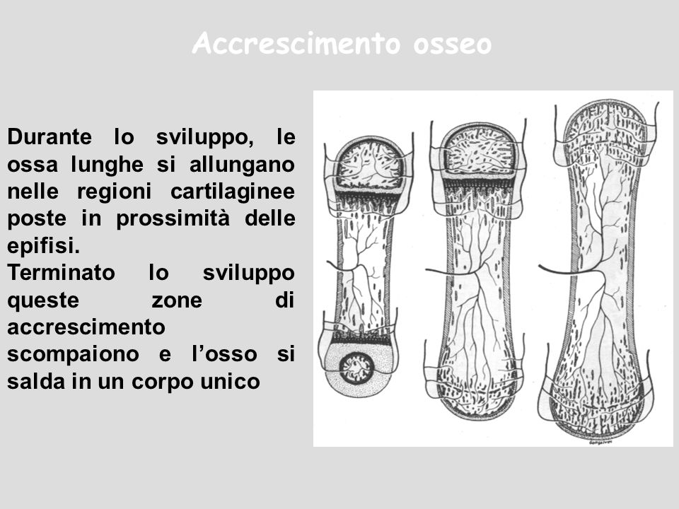 Accrescimento osseo Durante lo sviluppo, le ossa lunghe si allungano nelle regioni cartilaginee poste in prossimità delle epifisi. Terminato lo svilup