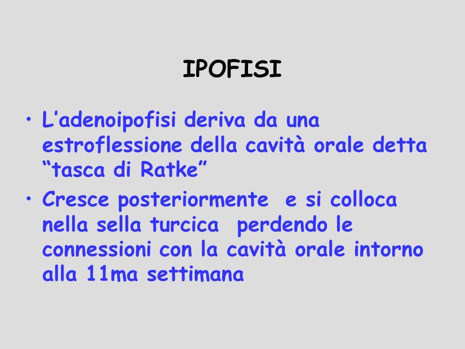 IPOFISI Ladenoipofisi deriva da una estroflessione della cavità orale detta tasca di Ratke Cresce posteriormente e si colloca nella sella turcica perd