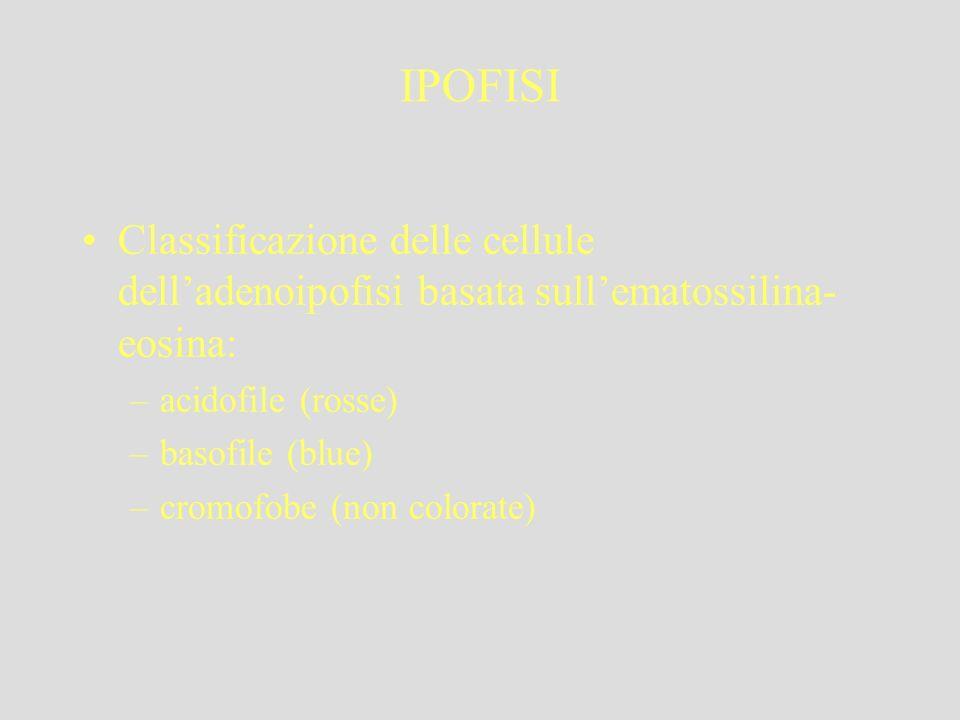 IPOFISI Classificazione delle cellule delladenoipofisi basata sullematossilina- eosina: –acidofile (rosse) –basofile (blue) –cromofobe (non colorate)