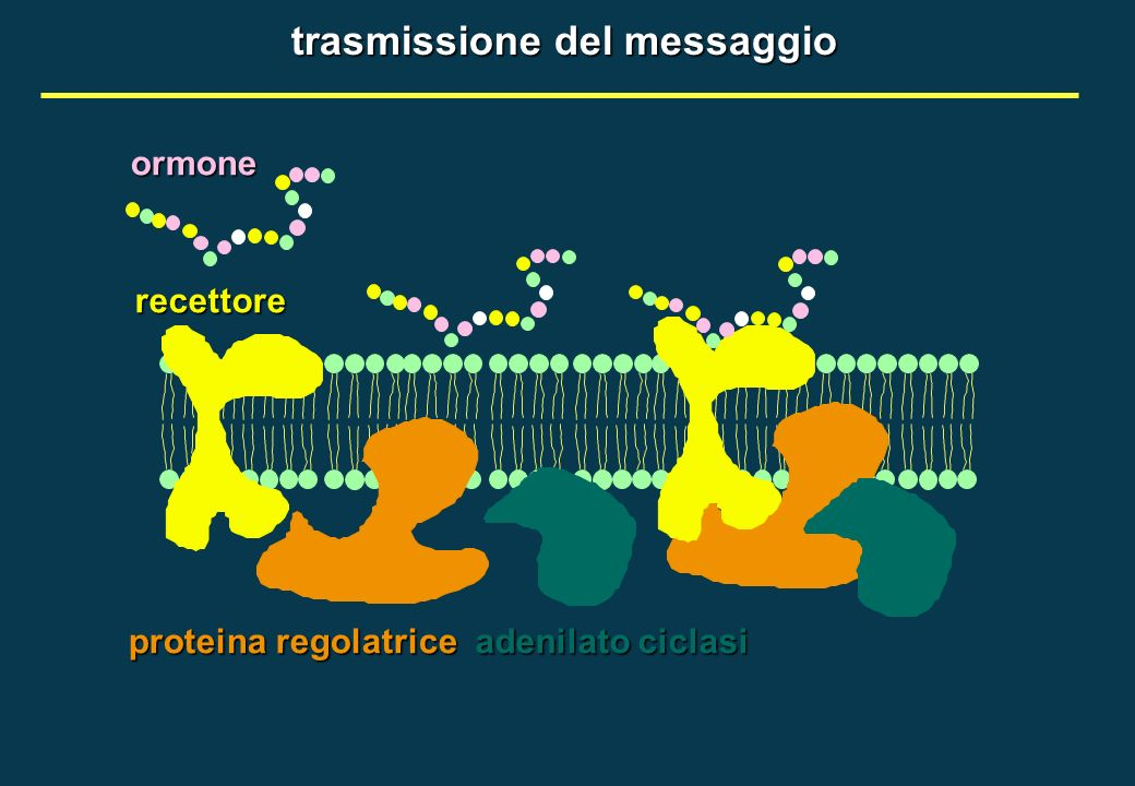 recettoreormone proteina regolatrice adenilato ciclasi trasmissione del messaggio