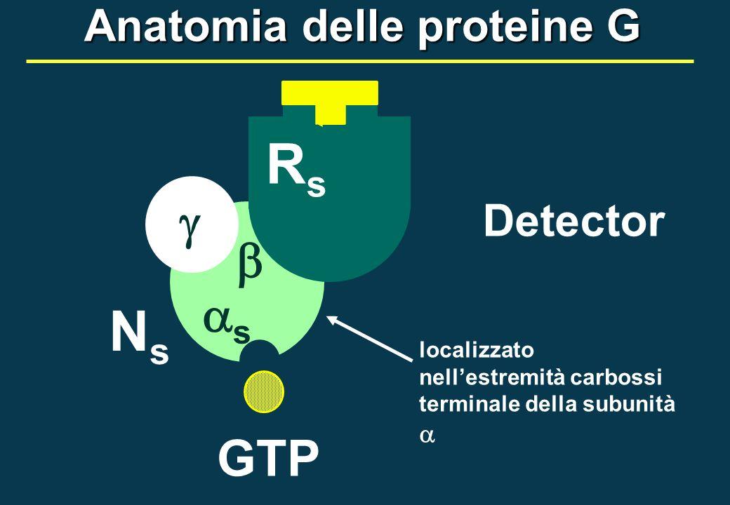 GTP NsNs RsRs s Detector localizzato nellestremità carbossi terminale della subunità Anatomia delle proteine G