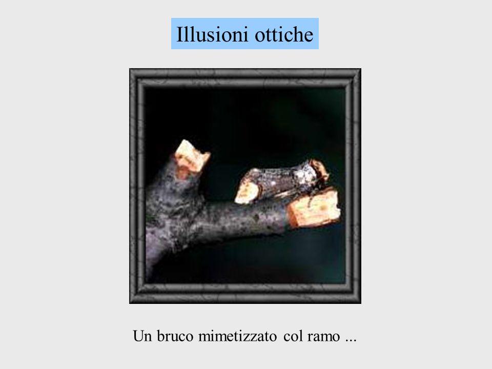 Un bruco mimetizzato col ramo... Illusioni ottiche