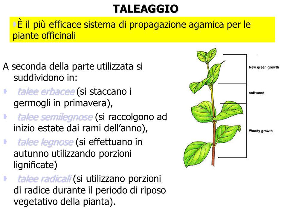 ATTENZIONE: per la maggior parte delle piante officinali non sono state fatte fino ad ora delle selezioni clonali che permettano di ottenere dalla sem