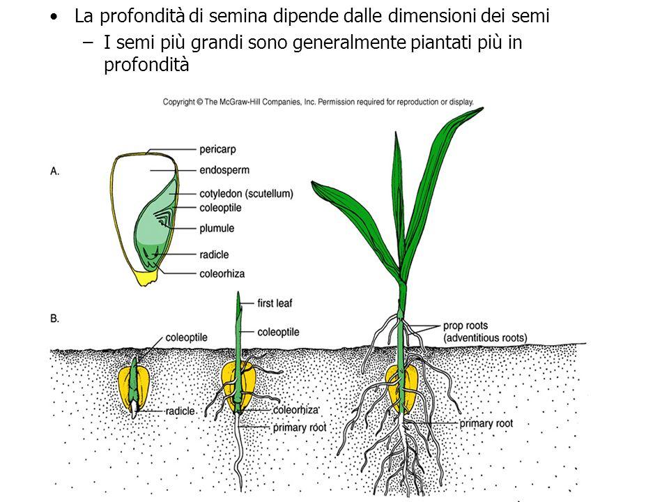 metodi di semina delle piante officinali Semina diretta semi sono piantati dove la pianta vivrà fino alla raccolta facile da attuare (… non sempre!!)