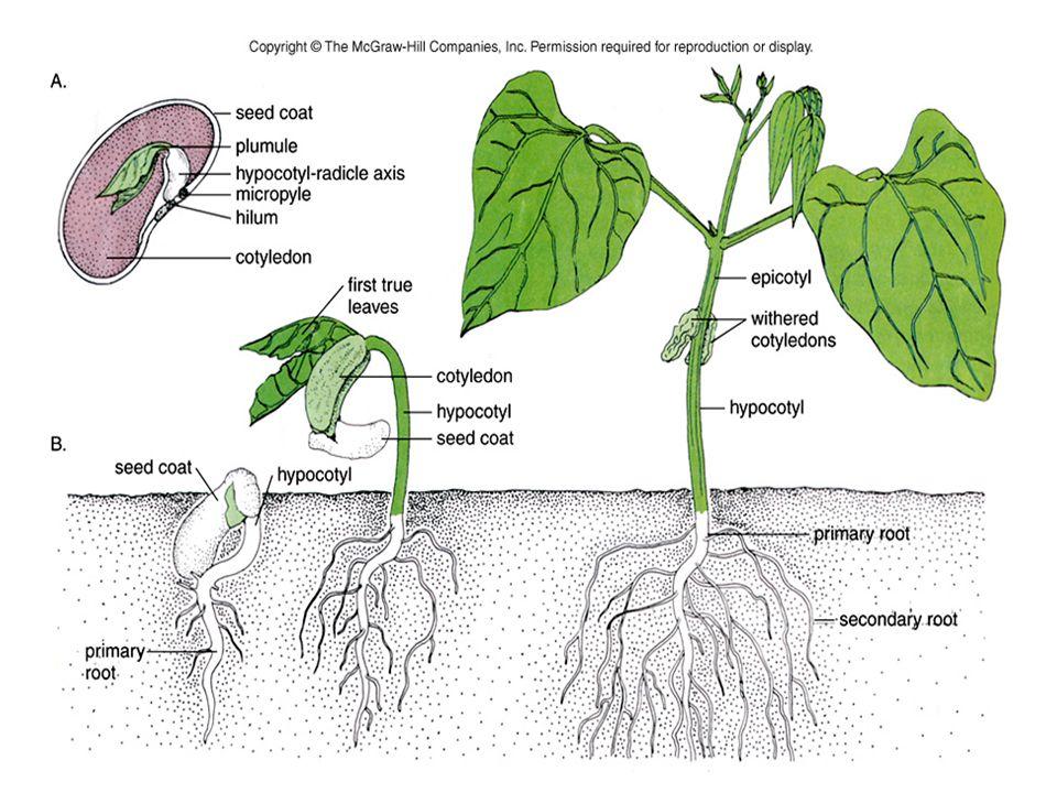La profondità di semina dipende dalle dimensioni dei semi –I semi più grandi sono generalmente piantati più in profondità