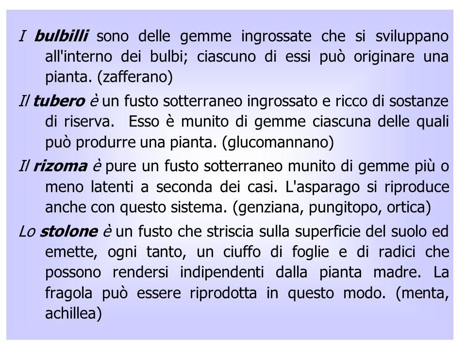 I bulbilli sono delle gemme ingrossate che si sviluppano all interno dei bulbi; ciascuno di essi può originare una pianta.