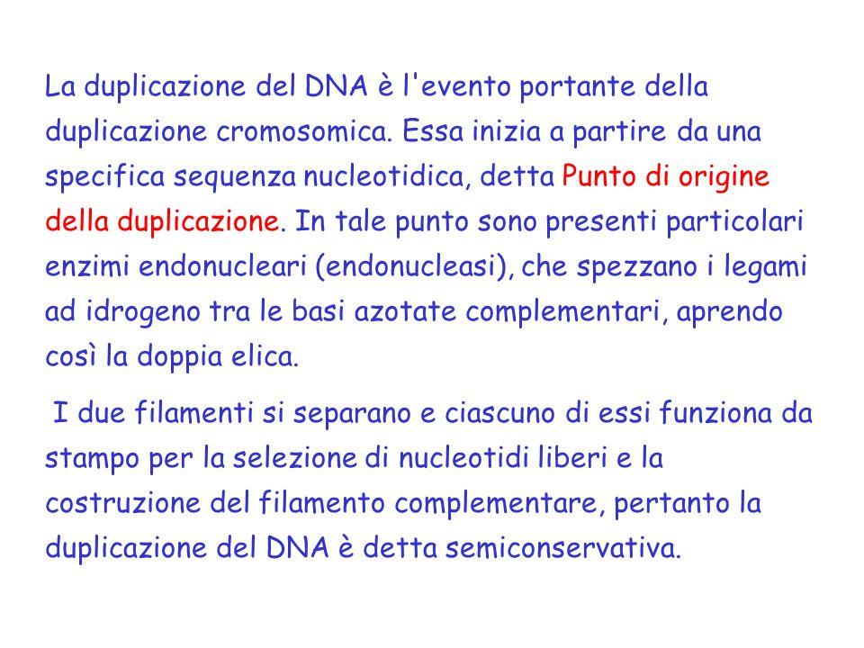 La duplicazione del DNA è l evento portante della duplicazione cromosomica.