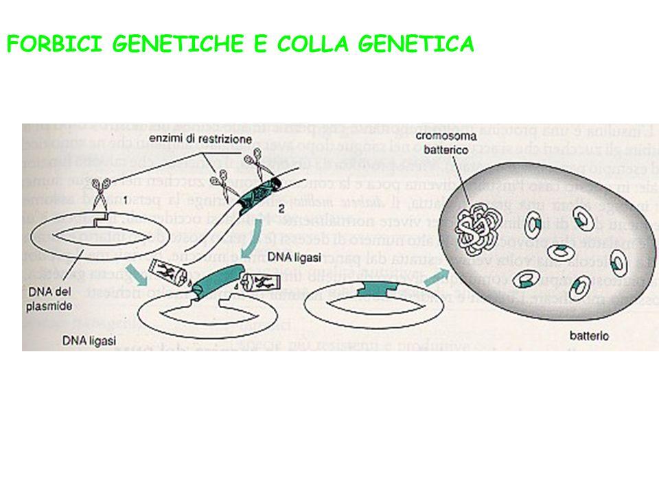 FORBICI GENETICHE E COLLA GENETICA