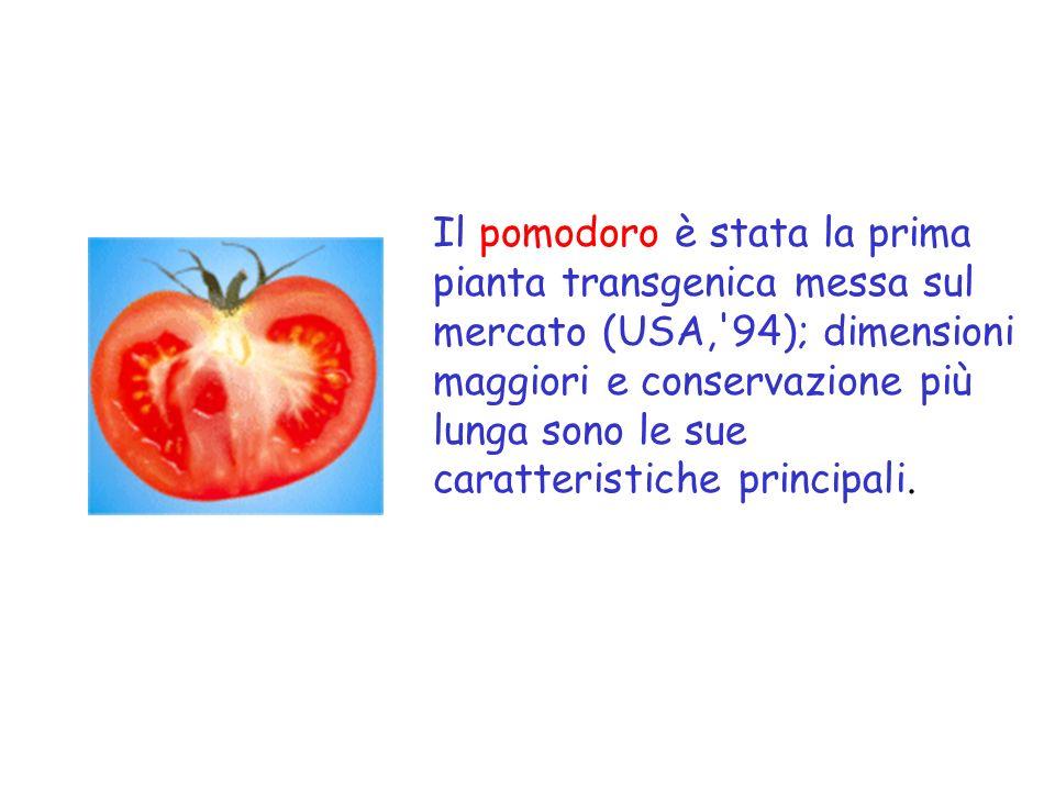 Il pomodoro è stata la prima pianta transgenica messa sul mercato (USA, 94); dimensioni maggiori e conservazione più lunga sono le sue caratteristiche principali.