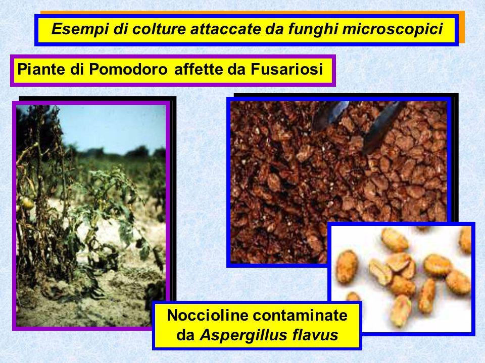 Piante di Pomodoro affette da Fusariosi Noccioline contaminate da Aspergillus flavus Esempi di colture attaccate da funghi microscopici
