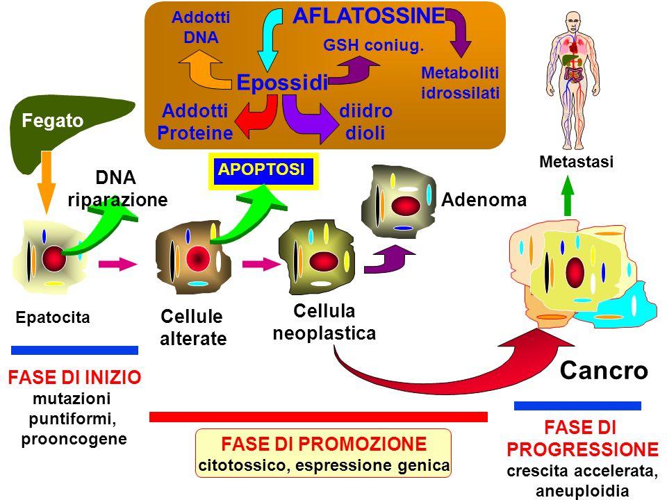 Epatocita Cellule alterate Cellula neoplastica Adenoma Cancro Metastasi FASE DI INIZIO mutazioni puntiformi, prooncogene FASE DI PROMOZIONE citotossic