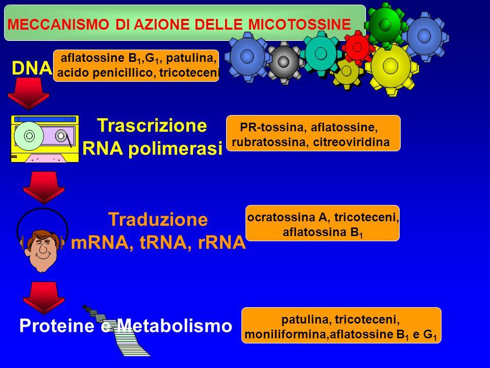 MECCANISMO DI AZIONE DELLE MICOTOSSINE DNA Trascrizione RNA polimerasi Traduzione mRNA, tRNA, rRNA Proteine e Metabolismo aflatossine B 1,G 1, patulin