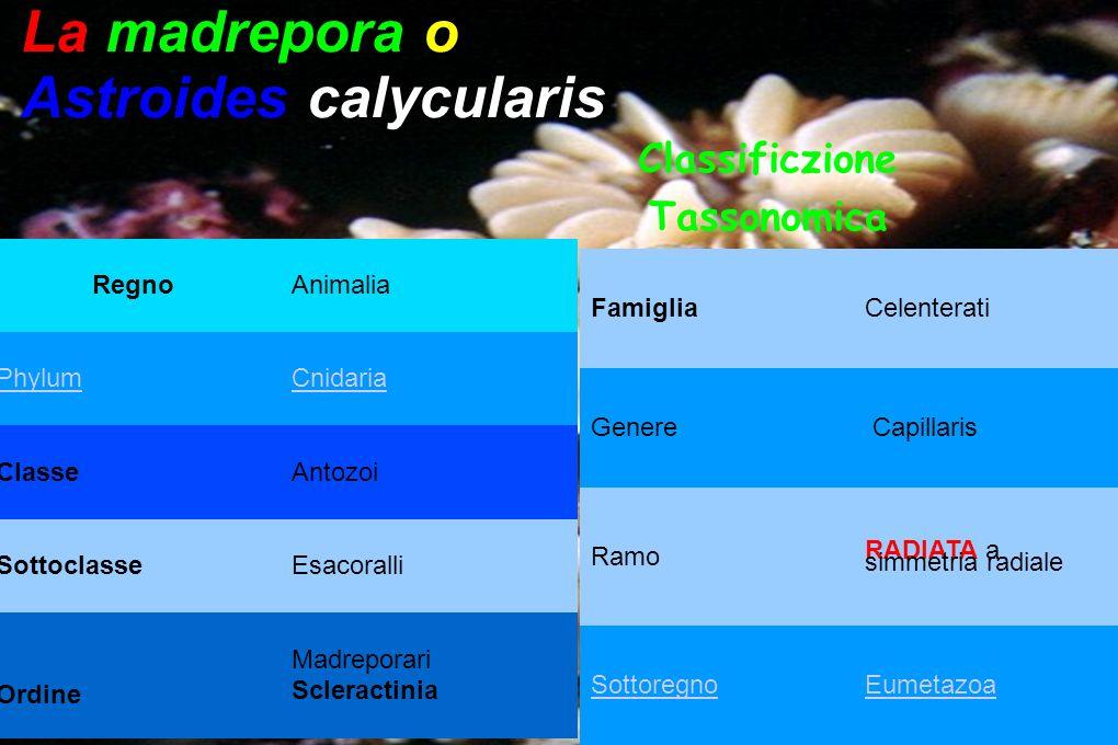 RegnoAnimalia PhylumCnidaria ClasseAntozoi SottoclasseEsacoralli Ordine Madreporari Scleractinia La madrepora o Astroides calycularis Classificzione T