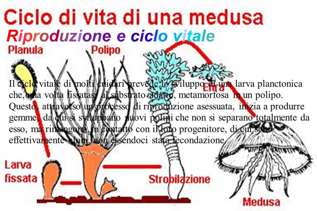 Riproduzione e ciclo vitale Il ciclo vitale di molti cnidari prevede lo sviluppo di una larva planctonica che, una volta fissatasi al substrato adatto