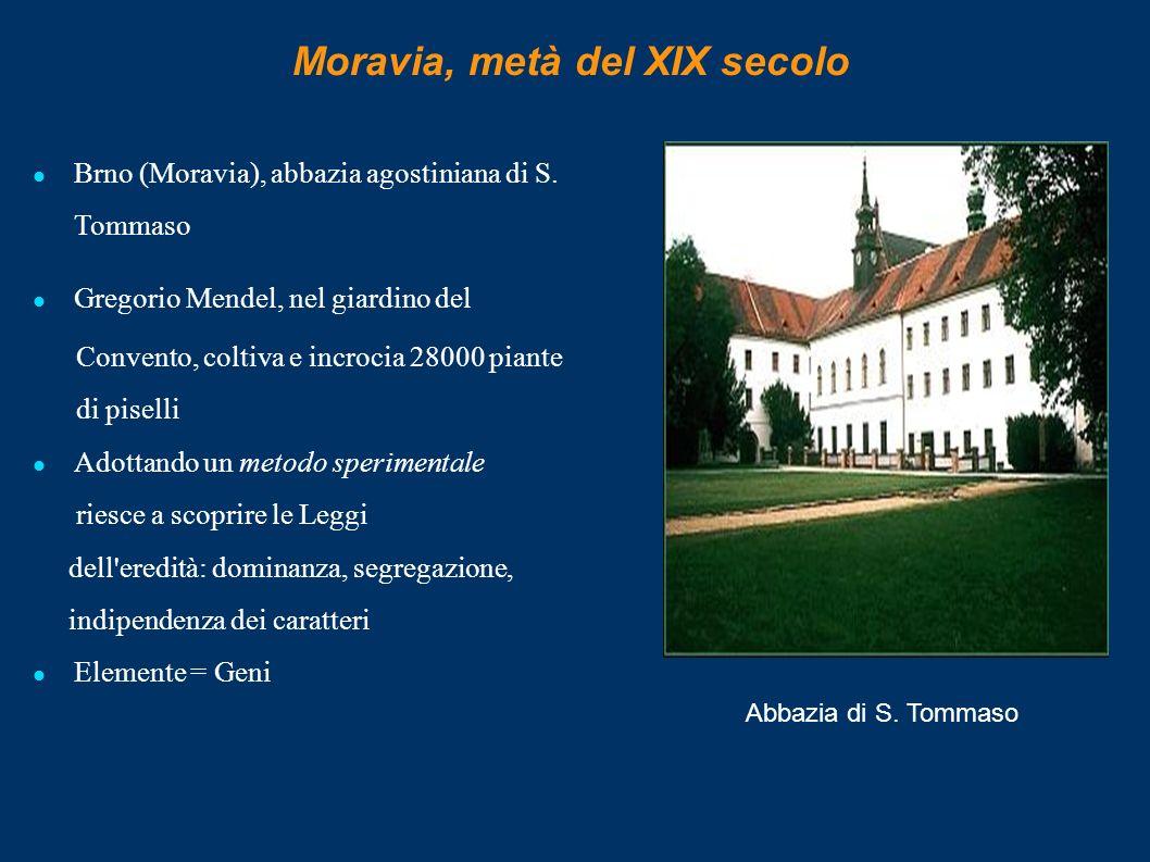 Moravia, metà del XIX secolo Brno (Moravia), abbazia agostiniana di S. Tommaso Gregorio Mendel, nel giardino del Convento, coltiva e incrocia 28000 pi