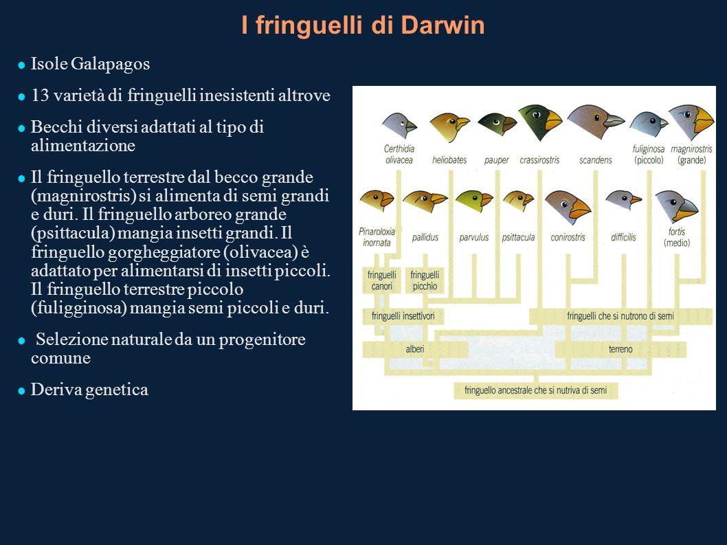 I fringuelli di Darwin Isole Galapagos 13 varietà di fringuelli inesistenti altrove Becchi diversi adattati al tipo di alimentazione Il fringuello ter