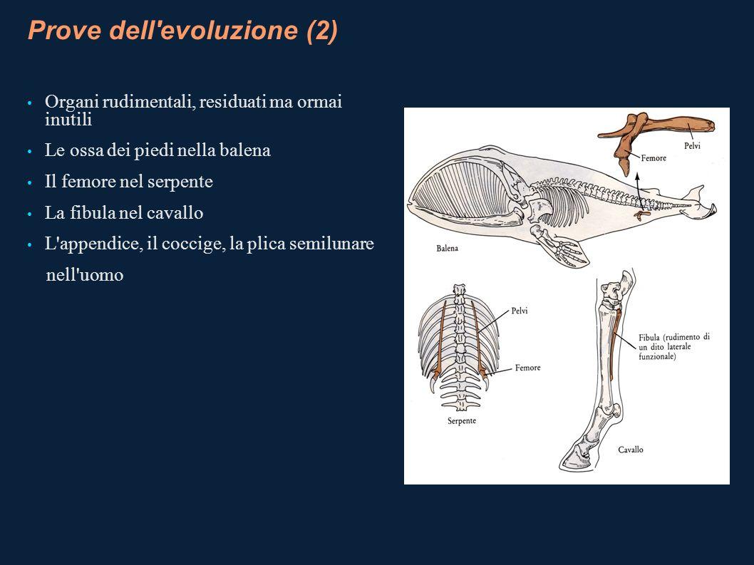 Prove dell'evoluzione (2) Organi rudimentali, residuati ma ormai inutili Le ossa dei piedi nella balena Il femore nel serpente La fibula nel cavallo L