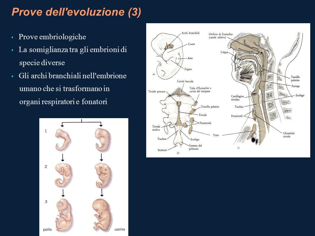 Prove dell'evoluzione (3) Prove embriologiche La somiglianza tra gli embrioni di specie diverse Gli archi branchiali nell'embrione umano che si trasfo