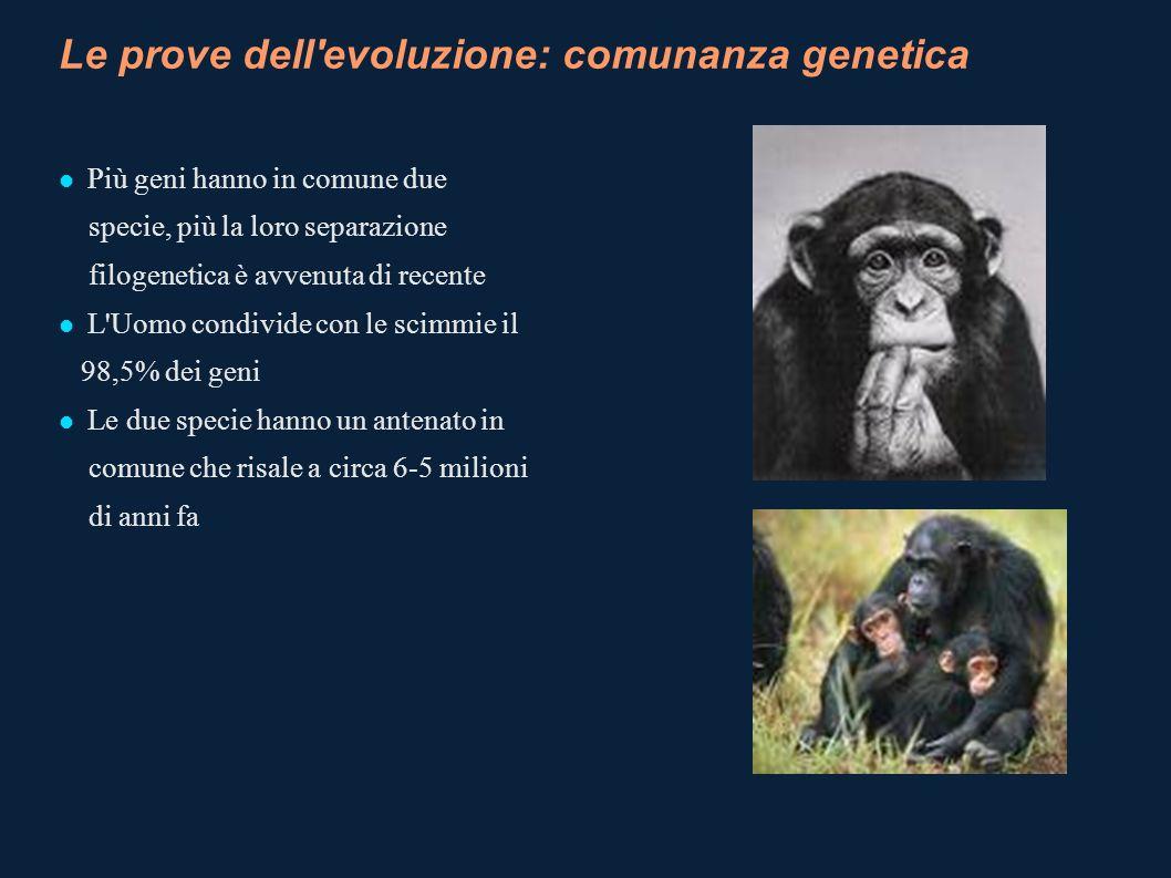 Le prove dell'evoluzione: comunanza genetica Più geni hanno in comune due specie, più la loro separazione filogenetica è avvenuta di recente L'Uomo co