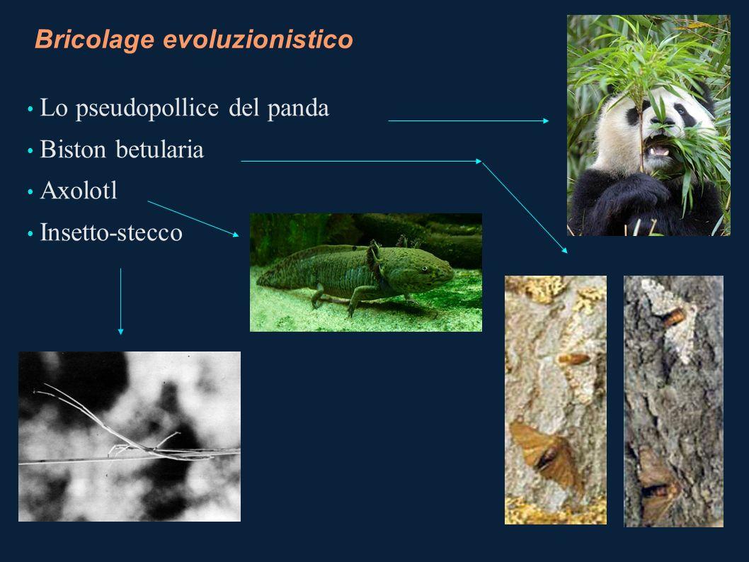 Bricolage evoluzionistico (1) Inquinamento ed evoluzione Biston betularia: ha cambiato colore per adattarsi al colore delle betulle scurite dallinquinamento Il colore chiaro è dominante Il colore scuro è recessivo Riserva genetica Influenza dellambiente sul fenotipo