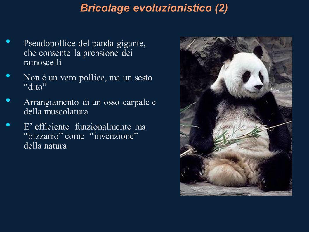 Bricolage evoluzionistico (2) Pseudopollice del panda gigante, che consente la prensione dei ramoscelli Non è un vero pollice, ma un sesto dito Arrang