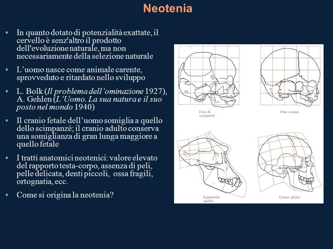 Neotenia In quanto dotato di potenzialità exattate, il cervello è senz'altro il prodotto dell'evoluzione naturale, ma non necessariamente della selezi