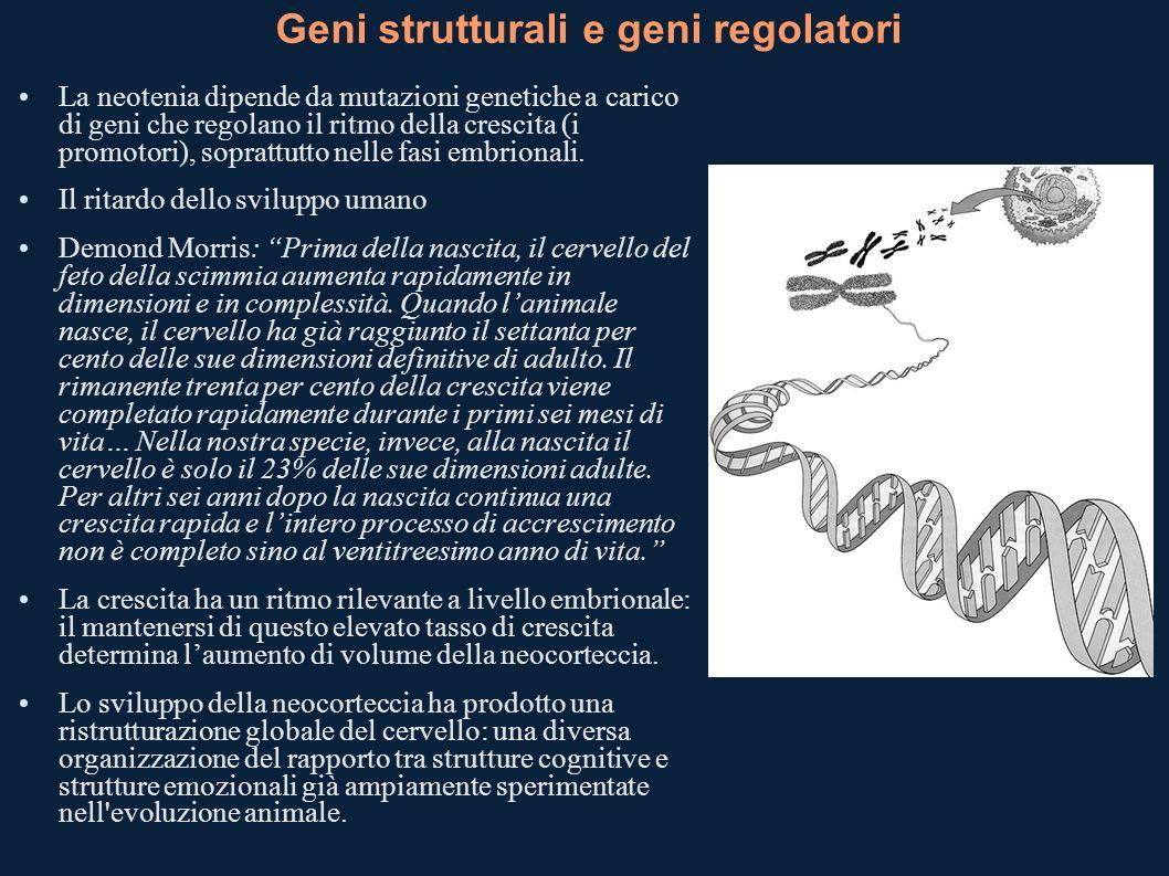 Geni strutturali e geni regolatori La neotenia dipende da mutazioni genetiche a carico di geni che regolano il ritmo della crescita (i promotori), sop