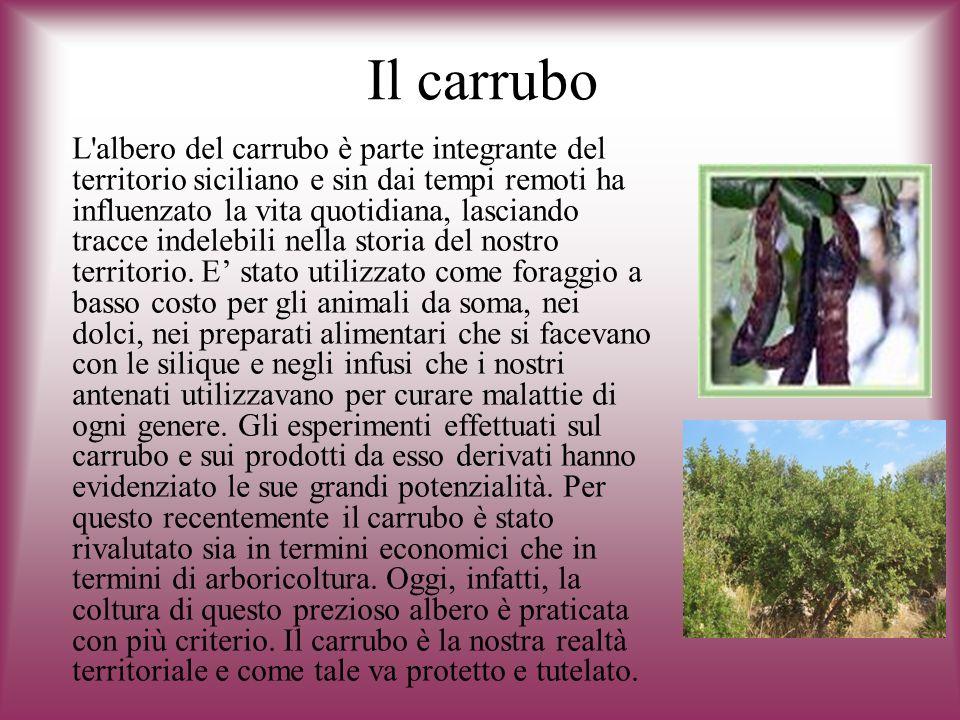 Il carrubo L'albero del carrubo è parte integrante del territorio siciliano e sin dai tempi remoti ha influenzato la vita quotidiana, lasciando tracce