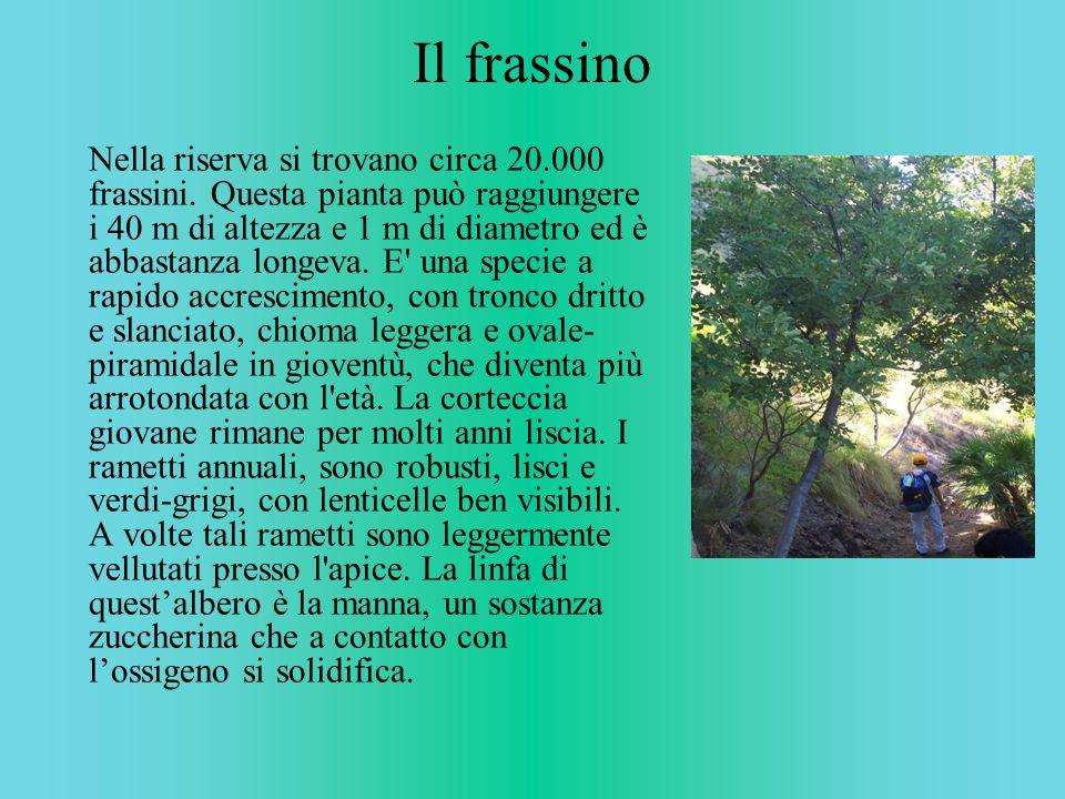 Il frassino Nella riserva si trovano circa 20.000 frassini. Questa pianta può raggiungere i 40 m di altezza e 1 m di diametro ed è abbastanza longeva.