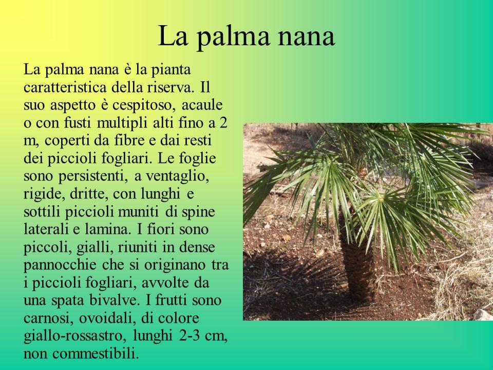 La palma nana La palma nana è la pianta caratteristica della riserva. Il suo aspetto è cespitoso, acaule o con fusti multipli alti fino a 2 m, coperti