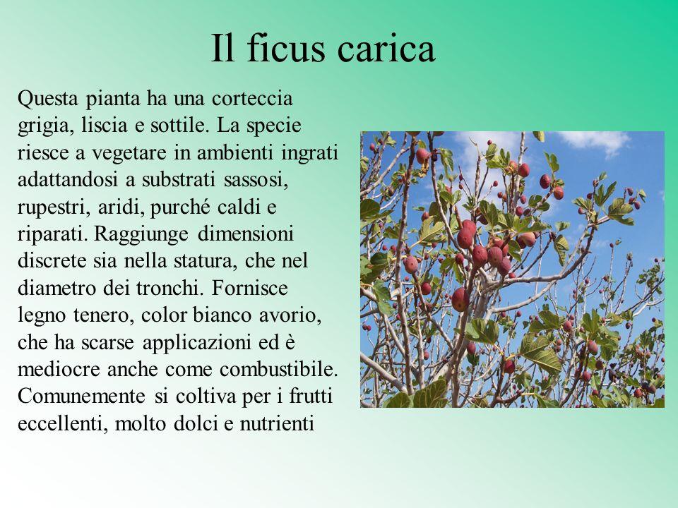 Il ficus carica Questa pianta ha una corteccia grigia, liscia e sottile. La specie riesce a vegetare in ambienti ingrati adattandosi a substrati sasso