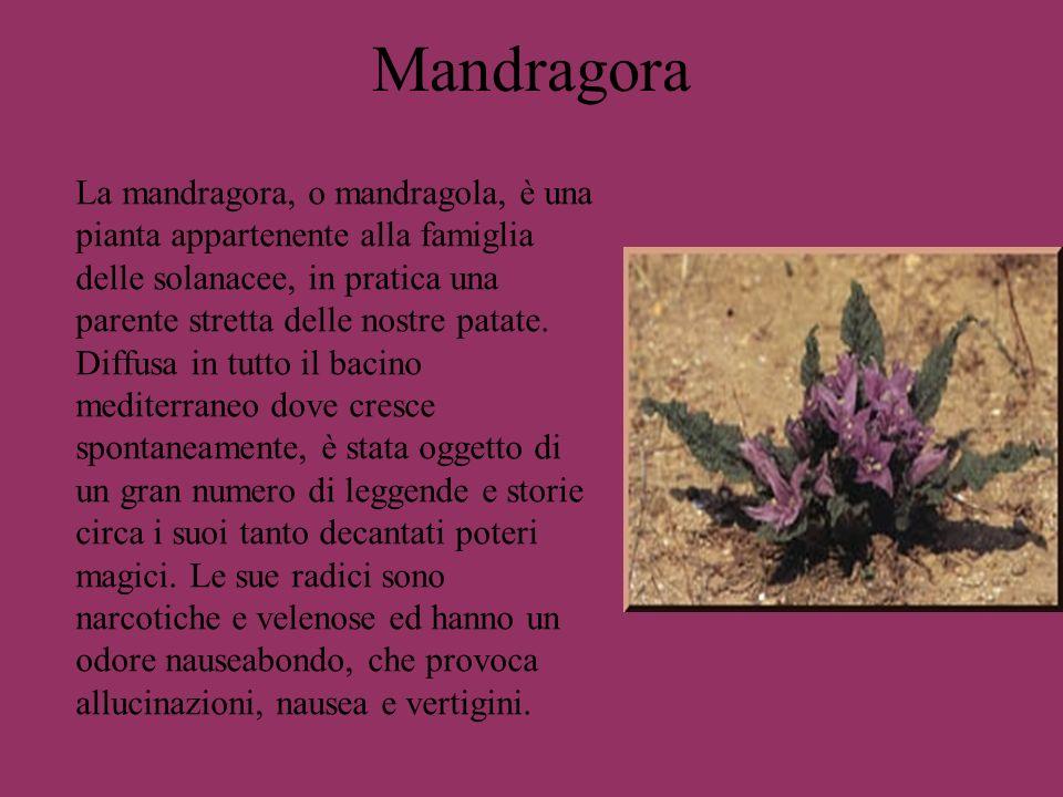 Mandragora La mandragora, o mandragola, è una pianta appartenente alla famiglia delle solanacee, in pratica una parente stretta delle nostre patate. D