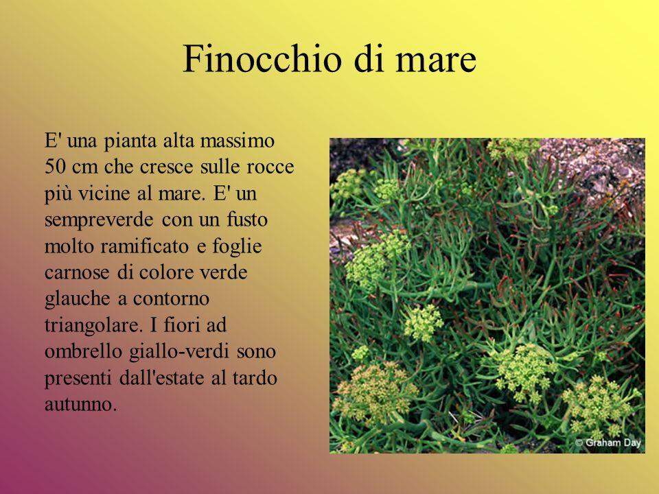 Finocchio di mare E' una pianta alta massimo 50 cm che cresce sulle rocce più vicine al mare. E' un sempreverde con un fusto molto ramificato e foglie