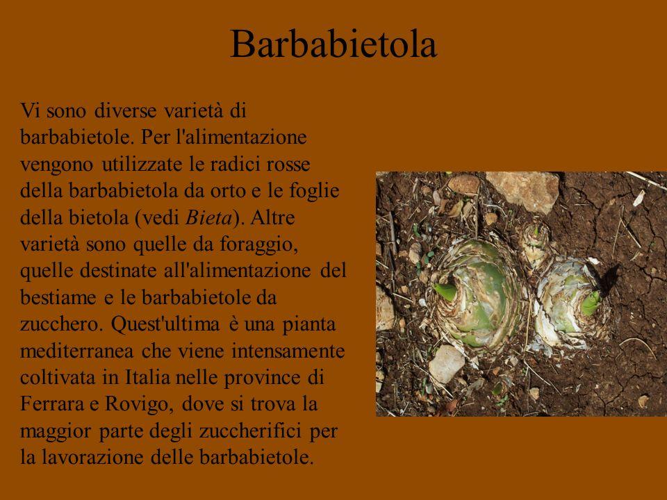 Barbabietola Vi sono diverse varietà di barbabietole. Per l'alimentazione vengono utilizzate le radici rosse della barbabietola da orto e le foglie de