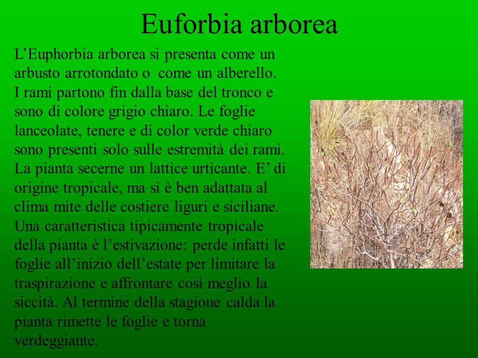 Euforbia arborea LEuphorbia arborea si presenta come un arbusto arrotondato o come un alberello. I rami partono fin dalla base del tronco e sono di co