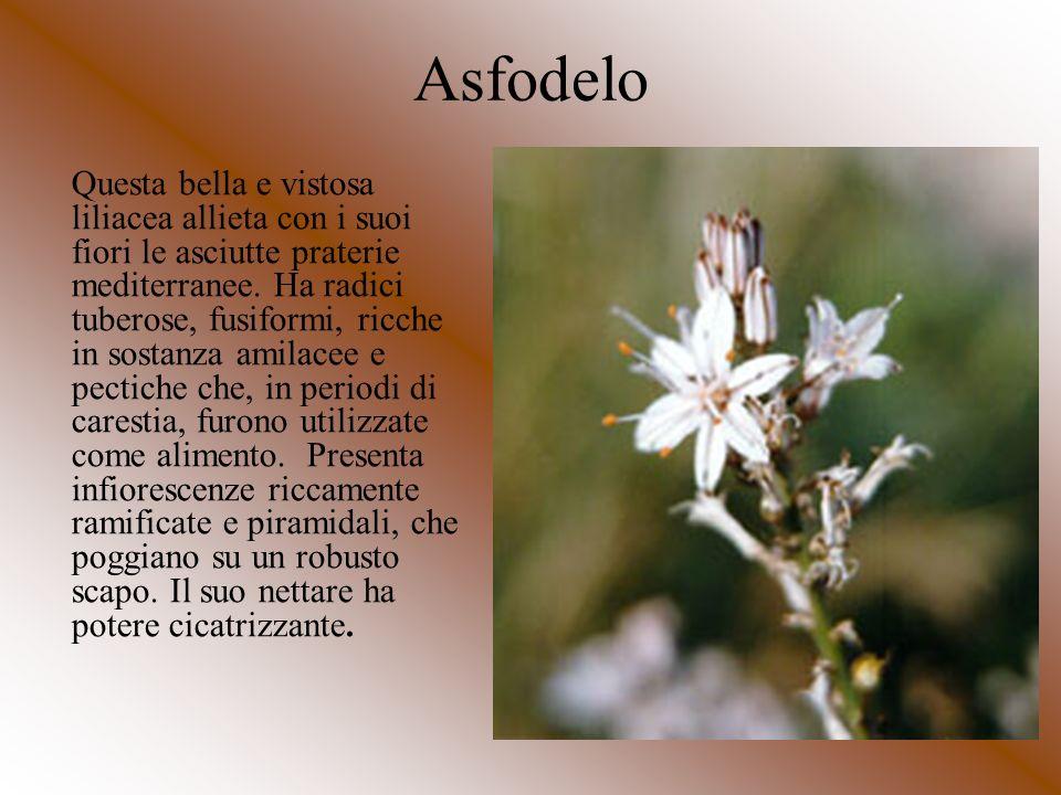 Asfodelo Questa bella e vistosa liliacea allieta con i suoi fiori le asciutte praterie mediterranee. Ha radici tuberose, fusiformi, ricche in sostanza