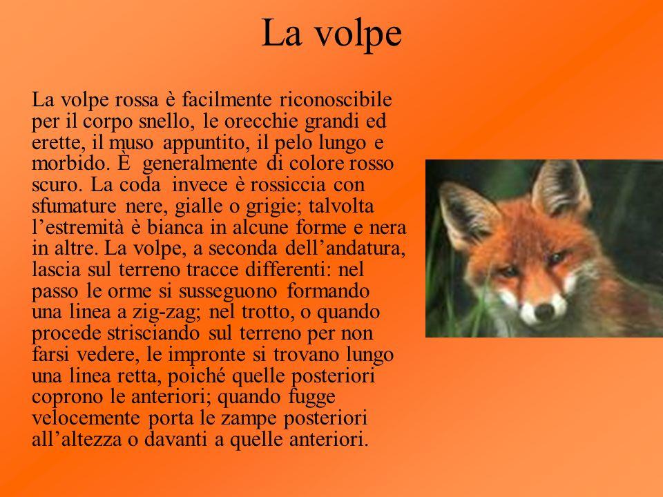 La volpe La volpe rossa è facilmente riconoscibile per il corpo snello, le orecchie grandi ed erette, il muso appuntito, il pelo lungo e morbido. È ge