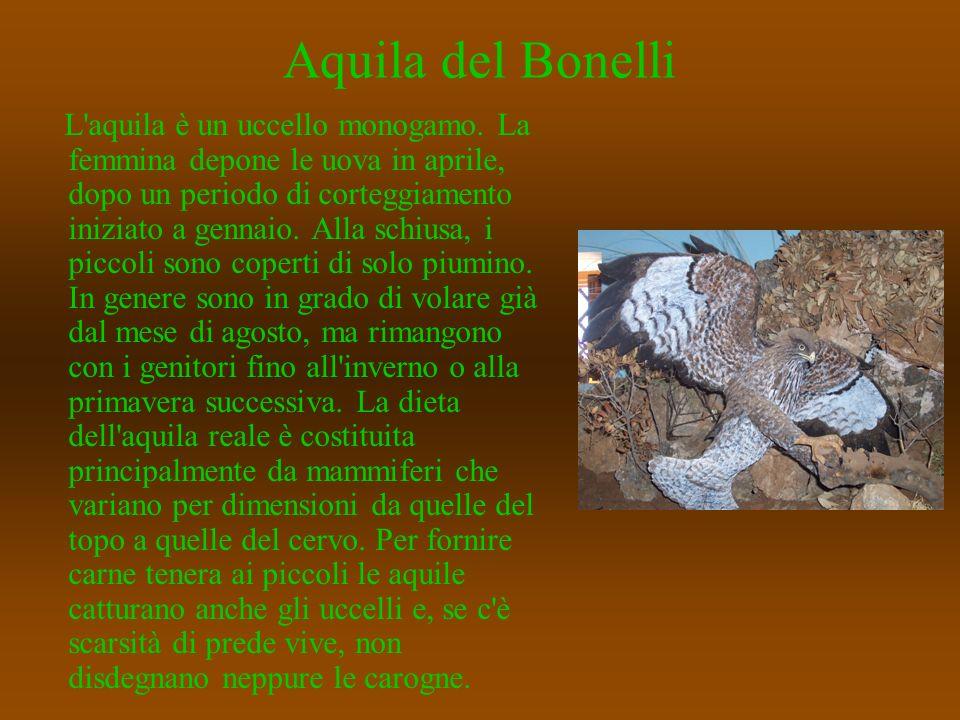 Aquila del Bonelli L'aquila è un uccello monogamo. La femmina depone le uova in aprile, dopo un periodo di corteggiamento iniziato a gennaio. Alla sch