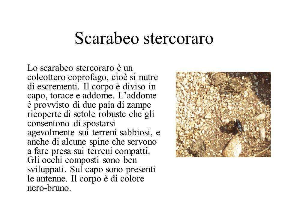 Scarabeo stercoraro Lo scarabeo stercoraro è un coleottero coprofago, cioè si nutre di escrementi. Il corpo è diviso in capo, torace e addome. Laddome