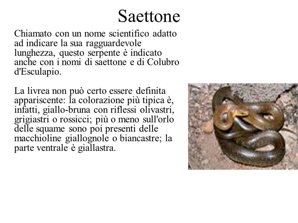Saettone Chiamato con un nome scientifico adatto ad indicare la sua ragguardevole lunghezza, questo serpente è indicato anche con i nomi di saettone e