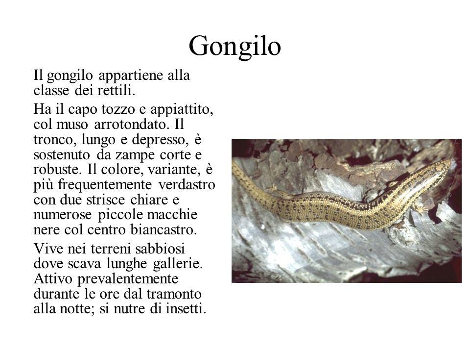 Gongilo Il gongilo appartiene alla classe dei rettili. Ha il capo tozzo e appiattito, col muso arrotondato. Il tronco, lungo e depresso, è sostenuto d