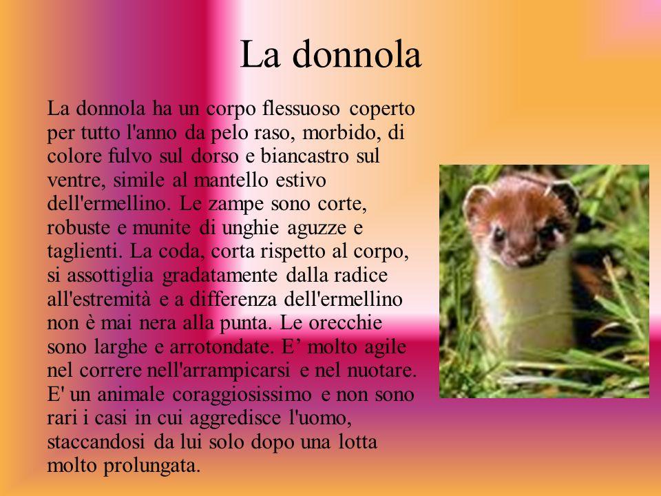 La donnola La donnola ha un corpo flessuoso coperto per tutto l'anno da pelo raso, morbido, di colore fulvo sul dorso e biancastro sul ventre, simile