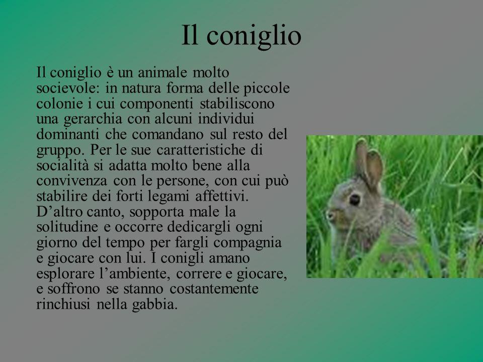 Il coniglio Il coniglio è un animale molto socievole: in natura forma delle piccole colonie i cui componenti stabiliscono una gerarchia con alcuni ind