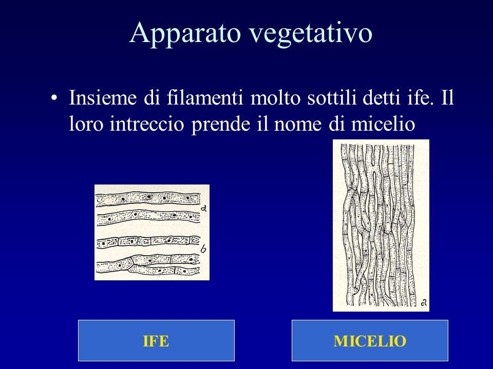 MICELIO Apparato vegetativo Insieme di filamenti molto sottili detti ife. Il loro intreccio prende il nome di micelio IFE