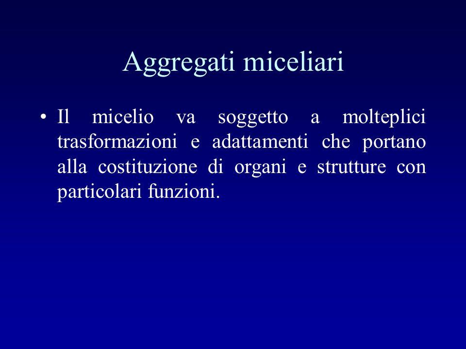 Aggregati miceliari Il micelio va soggetto a molteplici trasformazioni e adattamenti che portano alla costituzione di organi e strutture con particola